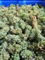 Entry level South African Bulk Sauvignon Blanc