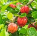 Acerola juice - bulk